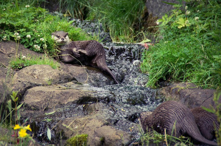 Animal Family Animals Cutr Day Edinburgh Edinburgh Zoo Frolicking Nature No People Otter Outdoors Play Scotland Splashing Water Waterfall Wildlife Zoo