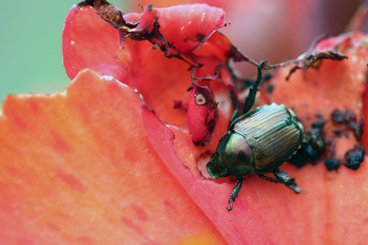 Animal Themes Animal Wildlife Animals In The Wild Beauty In Nature Beetle Close-up Day Fragility Insect Japanese Beetle Nature No People One Animal Outdoors Red
