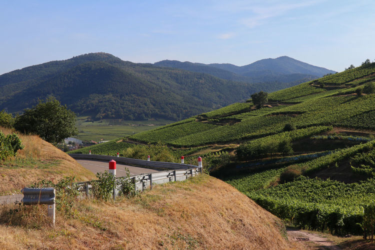Road through vineyards Alsace Agriculture Beauty In Nature Day Environment Field Green Color Growth Land Landscape Mountain Mountain Range Nature No People Non-urban Scene Outdoors Plant Plantation Rural Scene Scenics - Nature Sky Tea Crop Tranquil Scene Tranquility Vineyard