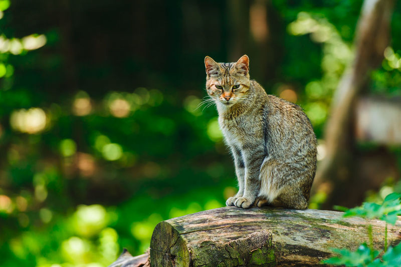 Wildcat at the zoo in Opole (Poland) One Animal Mammal Vertebrate Animal Wildlife Animals In The Wild No People Focus On Foreground Sitting Day Nature Tree Wood - Material Outdoors Looking Feline Alertness Cat Whisker Wildcat