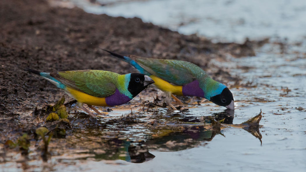 Gouldian finches black headed males drinking Chloebia Gouldiae Gouldamadine Gouldian Finch Kimberley Australia Animal Themes Animal Wildlife Animals In The Wild Beauty In Nature Bird Black Headed Males Day Nature No People Outdoors Water
