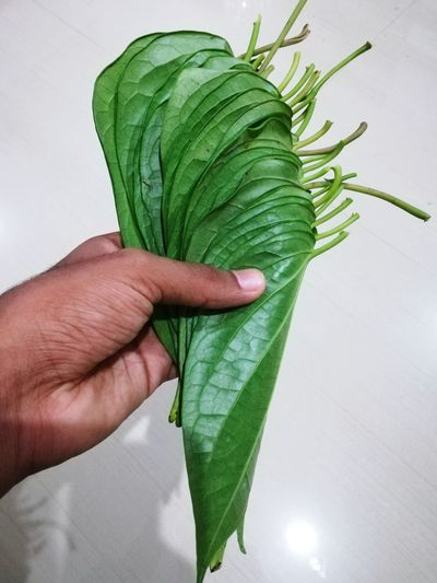 Betel Human Hand Leaf Close-up Green Color Leaf Vein Leaves Natural Pattern Spider Web Butterfly Growing Pollen Flower Head Dew Maple Leaf Fallen Dahlia Maple Stem Caterpillar Blooming Petal Fragility Plant Life In Bloom Butterfly - Insect Bud