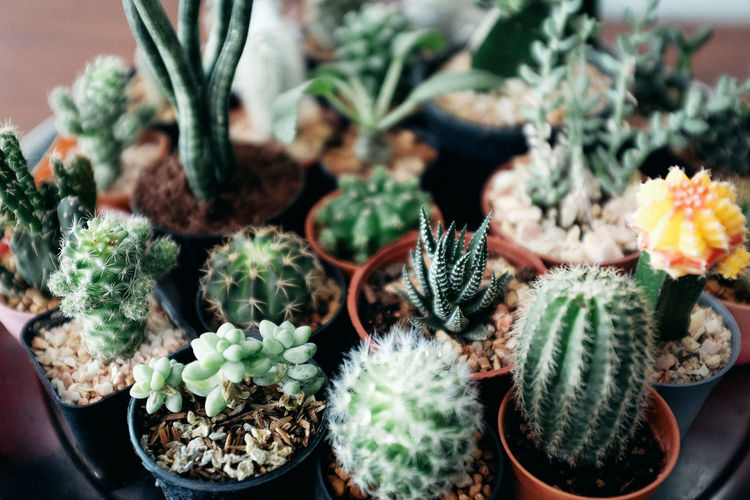 High angle view of cactus potted plants
