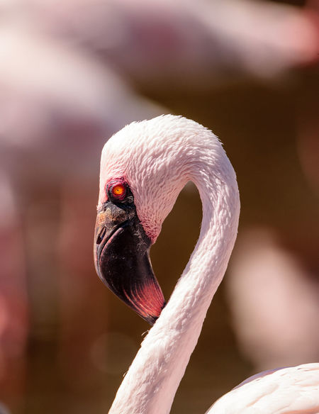 Pink lesser flamingo, Phoeniconaias minor, in the middle of a flock in India India Lesser Flamingo Phoeniconaias Minor Pink Flamingo Animal Themes Animal Wildlife Animals In The Wild Avian Beak Bird Close-up Day Feather  Flamingo Hook Beak Long Neck  Outdoors Pink Eyes Waterfowl