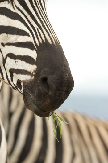 Philosophic zebra with a straw in mouth! Easy Going Safari Animals Green Color Black Blackandwhite Ngorongoro Crater Nikon Wildlife Photography Zebra Animal Themes Animal Animal Wildlife Animals In The Wild Close-up One Animal Nature Mammal Focus On Foreground Plant Part Animal Body Part Outdoors Vertebrate Beauty In Nature Growth No People Day Sky Going Remote The Great Outdoors - 2018 EyeEm Awards The Portraitist - 2018 EyeEm Awards The Traveler - 2018 EyeEm Awards