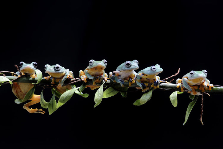 tree frog, row of tree frogs Studio Shot Copy Space Black Background Animal Wildlife No People Animal Themes Animal Animals In The Wild Group Of Animals Nature Indoors  Close-up Plant Cut Out Large Group Of Animals Freshness Beauty In Nature Fragility Flower Flower Head Marine