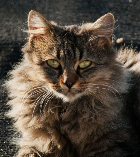 Angry Animal Themes Beautiful Cat Citty Cat Close-up Day Domestic Animals Domestic Cat Eye Cat Feline Felis Catus Kitty Cat Looking At Camera Mammal No People One Animal Outdoors Pets Portrait Sad Sad & Lonely Sweety Cat Whisker Yellow Eyes