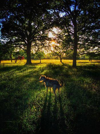 Enjoying The Sun Taking Photos I Love My Dog Lurcher Sighthound LEO... The One Eyed Lurcher... United Kingdom Leo in the evening sun...