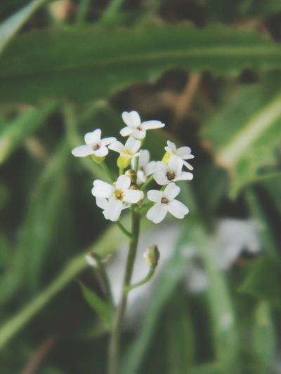 Flower White Color Fragility Nature Growth Freshness Beauty In Nature Plant Day Outdoors Flower Head Close-up No People Springtime EyeEm EyeEm Nature Lover EyeEm Gallery