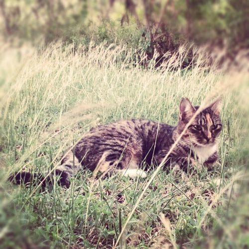 Enjoying the tall grass! Grass Yard Yardlove Kitty cat catsofinstagram instacats instacat feral feralcats kitties hellokitty felines felinelove
