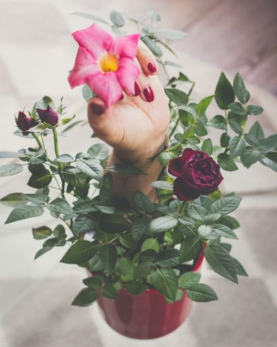 Flower Petal Fragility Rose - Flower Nature Beauty In Nature Flower Head Plant Freshness Growth Vase Pink Color Leaf Blooming Bouquet Close-up Beauty No People Outdoors Day