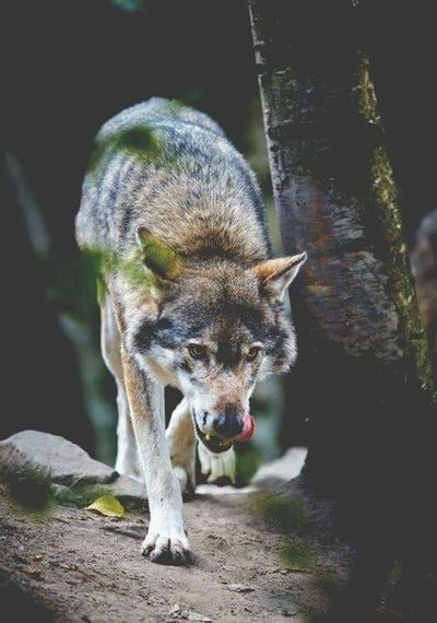My favourite animal Wolf First Eyeem Photo