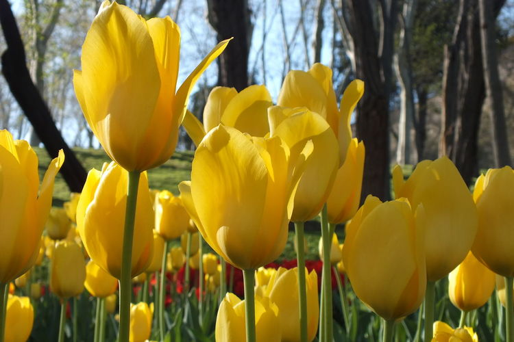 Yellow tulips at Lale Festival in Istanbul Beauty In Nature Close-up Field Of Tulips Flower Flower Head Fragility Freshness Lale Festival In Istanbul Nature Outdoors Petal Plant Tulips Tulips Flowers Yellow Yellow Tulips