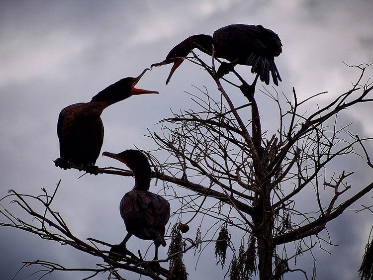 Pecking Order Pecking Order Birds_collection Silhouettes Birds EyeEm Birds Duck