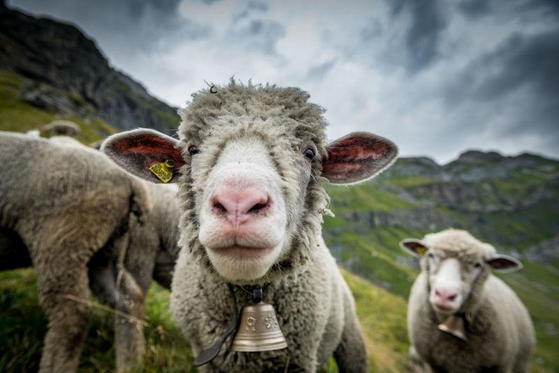 Sheep against sky