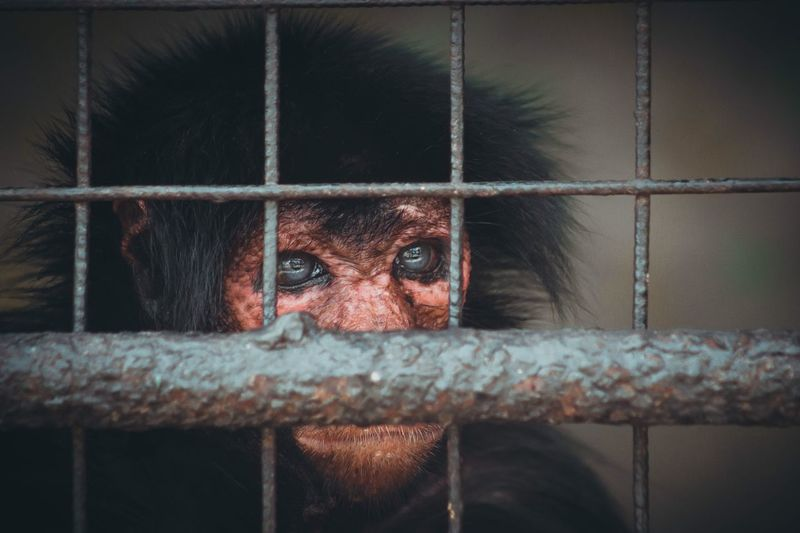 Monkey behind bars Cage Prison Trapped Prison Bars Indoors  Prisoner Looking At Camera One Person Close-up Monkey Security Bar Mammal Animal Themes