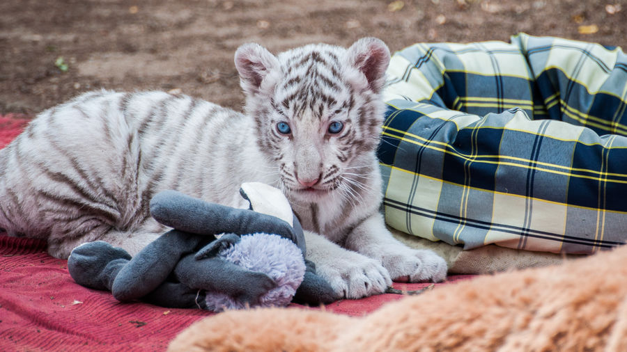 White tiger cub relaxing on blanket