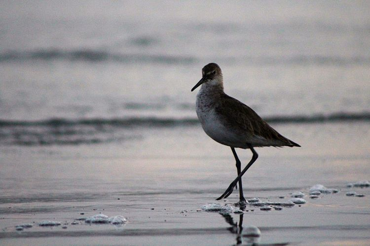 Bird Beach One Animal Water Animals In The Wild Animal Wildlife Sea Animal Themes No People Nature Sand Outdoors Day Close-up