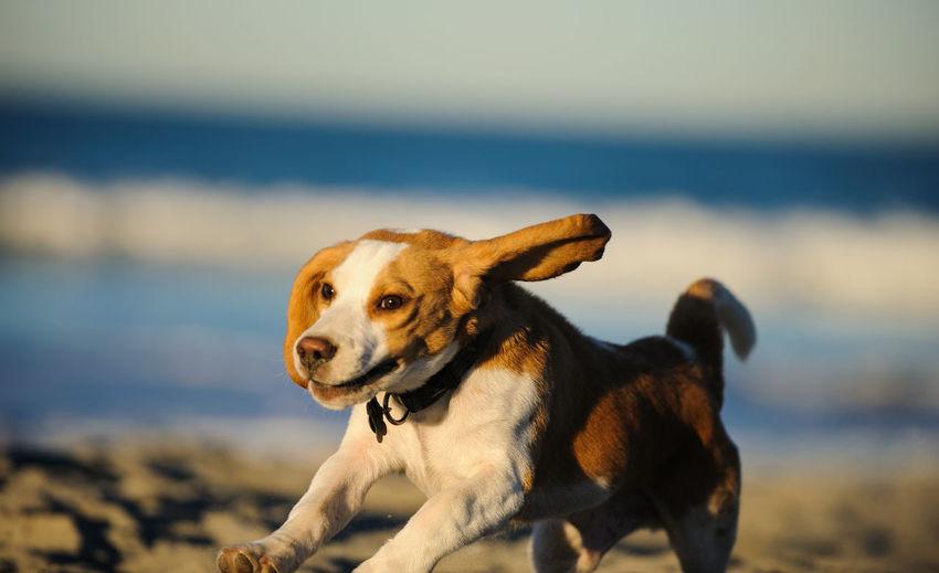 Beagle puppy running on sand at beach