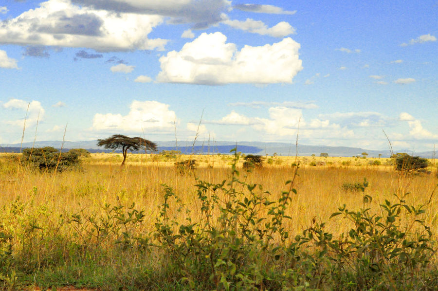 Acacia Tree Savannah Tree Landscape Clouds And Sky Finding New Frontiers