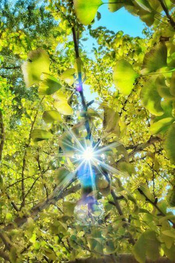 Ginkgo Tree Ginkgo Leaf Leaf Leaves EyeEm EyeEm Best Shots Nature Nature_collection Japan Photography Japan 日差し EyeEmBestPics EyeEmNewHere Ginkgo 銀杏 秋 秋空 黄色 木漏れ日 Full Frame Tree Leaf Sunlight Close-up Green Color Shining Sun Lens Flare Solar Flare Petal