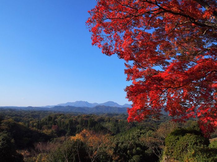Castle Oita Japan Oka Castle Red Autumn Beauty In Nature Clear Sky Maple Leaf Mountain Nature No People Sky Tranquility Tree