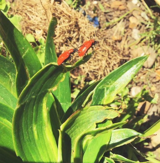 Red Lily Beetle Lily Beetle Green Color Animals In The Wild One Animal Animal Themes Growth Day Nature Plant Leaf Outdoors Beauty In Nature