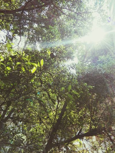 Tree Growth Low Angle View Nature No People Beauty In Nature Sunlight Sunbeam Green Color Tranquility Day Outdoors Sun Backgrounds Branch Sky Bamboo Grove