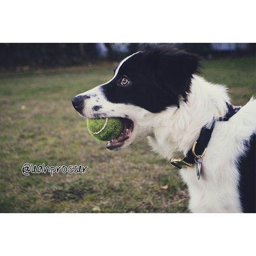 Bordercollie  Bordercolliepuppy Bordercolliepuppies Puppy Dog Dogswithfreckles Bordercolliesofinstagram Dogsofinstagram Herdingdog Dogsthatherd Balldog Playtime Playwithyourdog Dogsofthepnw PNW Dogsofwa Vscocam Vscodog Vscogood Vscooutdoors VSCO Photography Dogphotography Nikon Nikond3200 nikonphotography