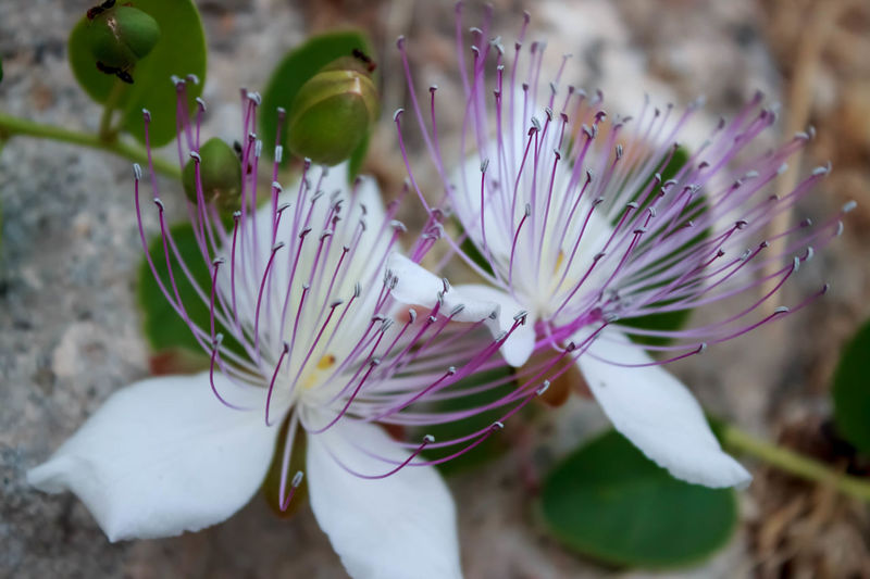 Sicilia Sicily Beauty In Nature Capperi Close-up Day Flower Flower Head Fragility Freshness Growth Nature No People Outdoors Petal Plant White Color