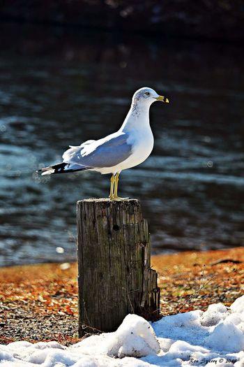 Seagull Taking Photos Nature Vernon Resevoir Birds Bird Photography Bird Birds Of EyeEm