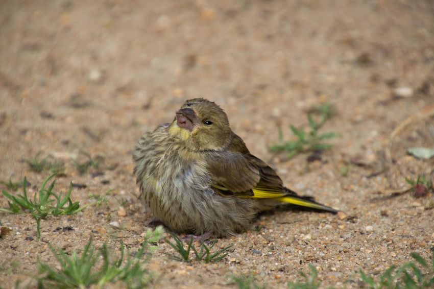 young green finch Animal Themes Animal Wildlife Animals In The Wild Bird Bird Photography Birds Birds Of EyeEm  Birds_collection Birds🐦⛅ Chloris Chloris Close-up Day EyeEm Birds Green Finch Nature No People One Animal Outdoors Young Bird