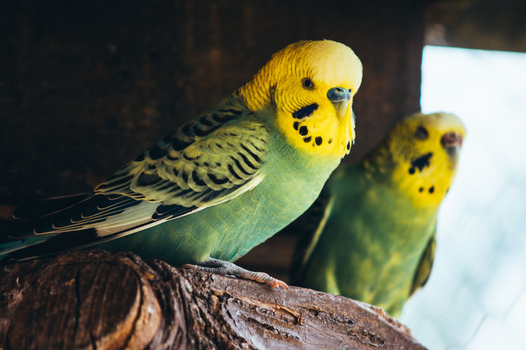 Close-up of budgerigars perching on branch