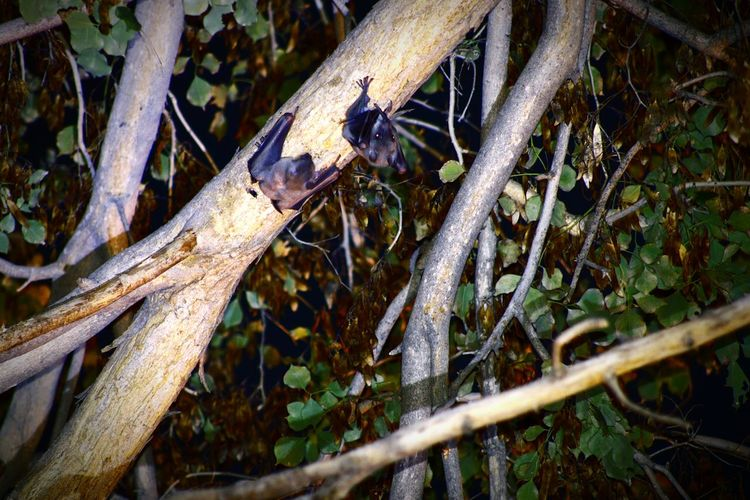 Two Young Bats Hanging On A Branch After Lounch Adi Tsaady Photo Bats Family In Holon Tel-Aviv Israel Scary Bats Eating Young Bats Bats Bats Hanging Bat Hanging Bat Look Night Kings Night Birds Flying Mise EyeEm Selects Outdoors Day No People Nature Close-up Tree