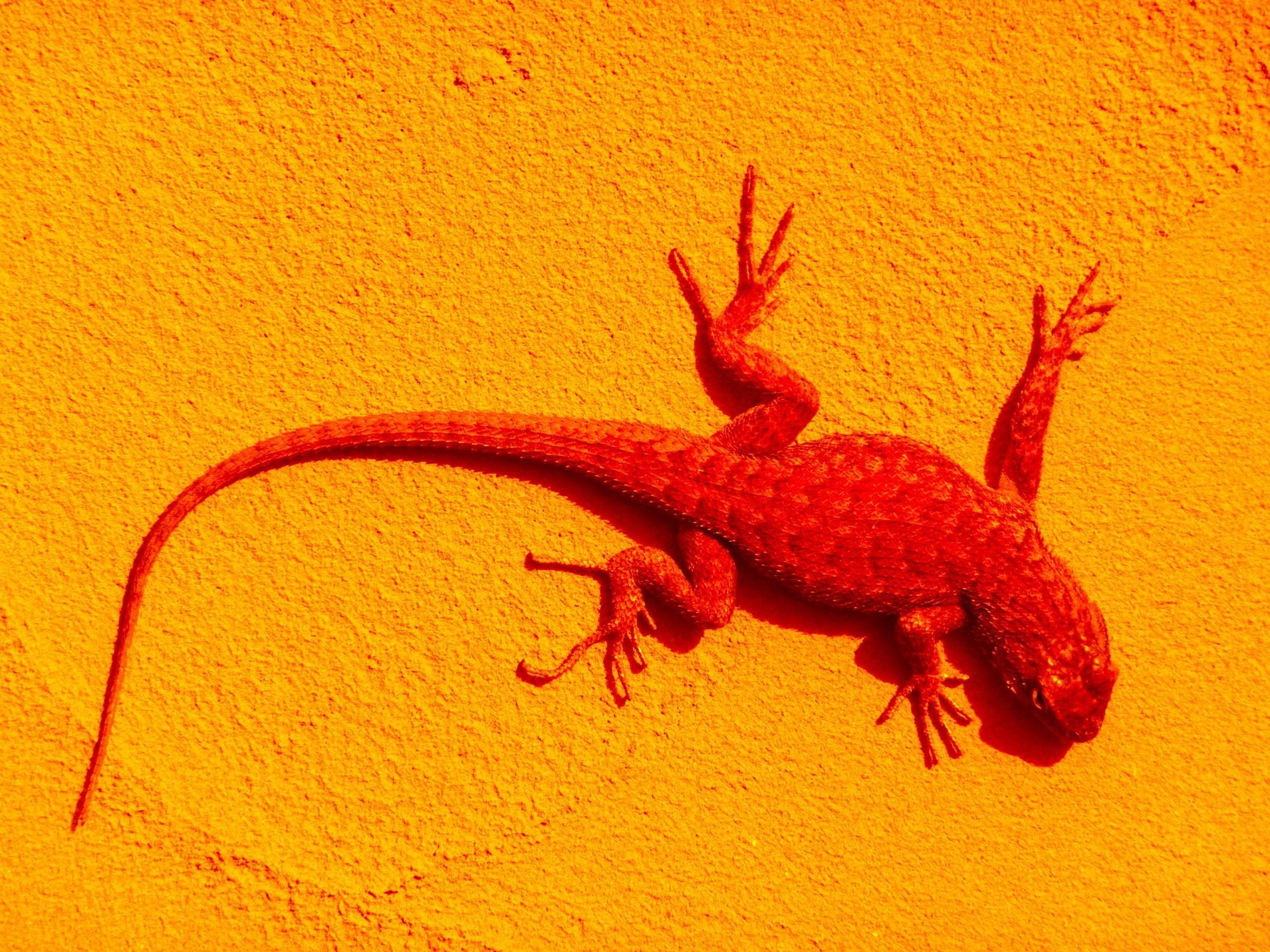 animal themes, animals in the wild, wildlife, one animal, lizard, reptile, orange color, sand, high angle view, close-up, nature, wall - building feature, starfish, indoors, full length, no people, sea life, zoology, day