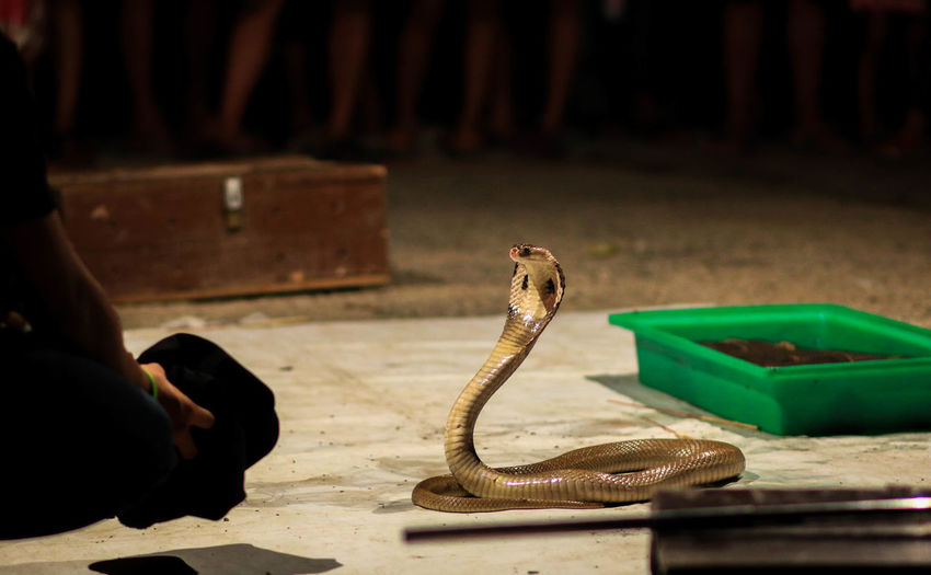 Cropped image of snake charmer crouching by cobra on street