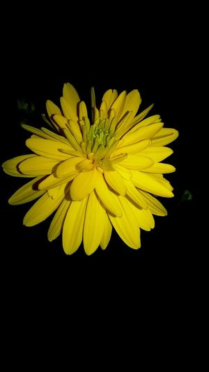 sharpness of yellow flowers at night Yellow Flower Flowering Plant Freshness Fragility Vulnerability  Beauty In Nature Flower Head Black Background Close-up Plant Studio Shot No People Nature Growth Spring
