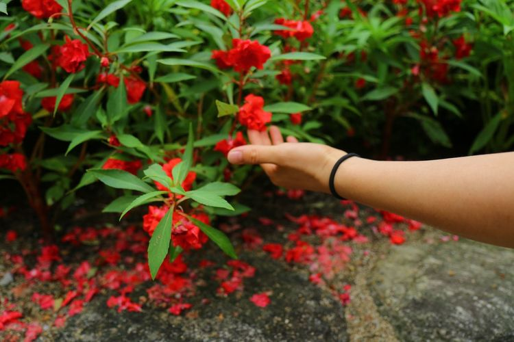 Cropped Image Of Hand Touching Red Flower