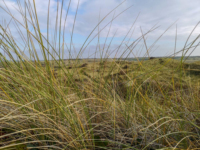 sand dunes through the grass Close-up This Is England EyeEm Selects Sand Dunes Perranporth Daily Walk In Nature Autumn Cereal Plant Water Rural Scene Grass Close-up Cloud - Sky Reed - Grass Family