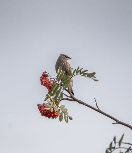 Low angle view of cedar waxwing perching on cherry tree against clear sky