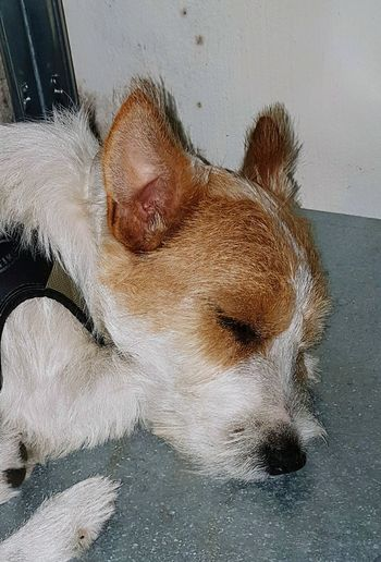 LELLO Jack Russell Cane