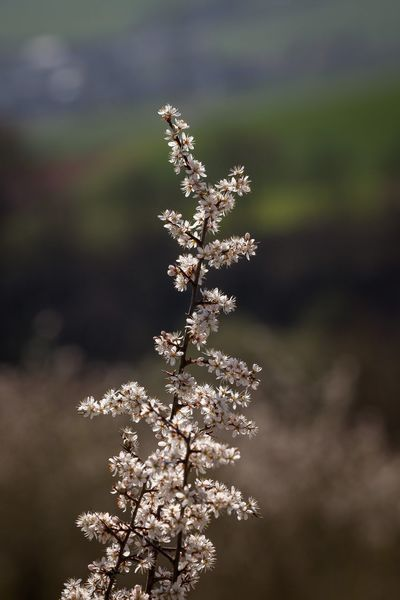 Paradise track Beauty In Nature Blossom Cherry Blossom Cherry Tree Close-up Day Flower Flowering Plant Focus On Foreground Fragility Freshness Growth Nature No People Outdoors Plant Selective Focus Springtime Tranquility Tree Vulnerability  White Color