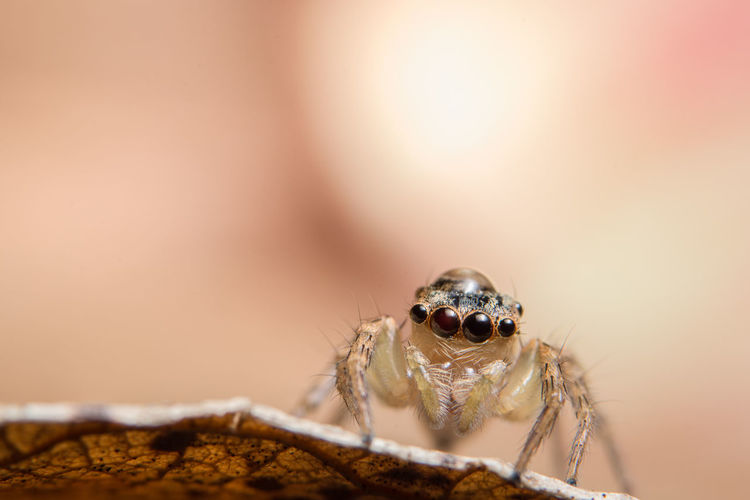 Extreme close-up of jumping spider on leaf