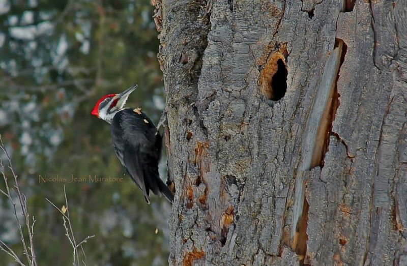 Pileated Woodpecker Woodpecker Red HEAD Wildlife Bird MyPhotography Nature Canada Canon