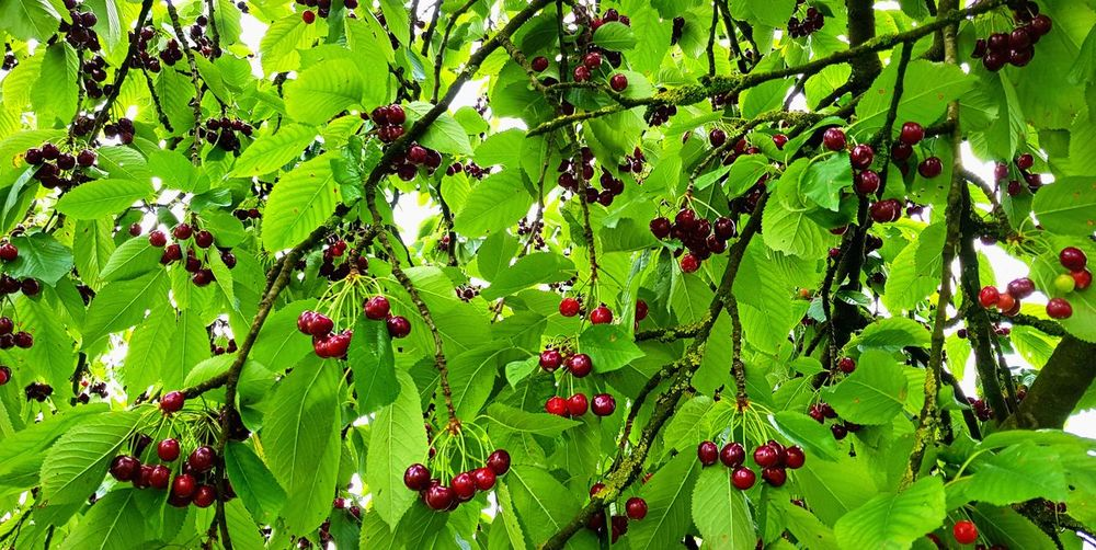 Cherry Beauty In Nature Berry Fruit Cherryseason Close-up Day Food Food And Drink Freshness Fruit Green Color Growth Healthy Eating Leaf Nature No People Outdoors Plant Plant Part Red Redcherries Ripe Tree Wellbeing