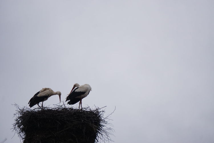 Nesting Animal Nest Animal Themes Animal Wildlife Animals In The Wild Beauty In Nature Bird Bird Nest Clear Sky Copy Space Day Low Angle View Nature Nest No People Outdoors Perching Sky Spring Spring Birds Stork Togetherness Two Animals Two Storks White Stork