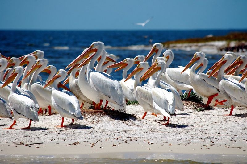 Flock of white pelicans on a sunny beach