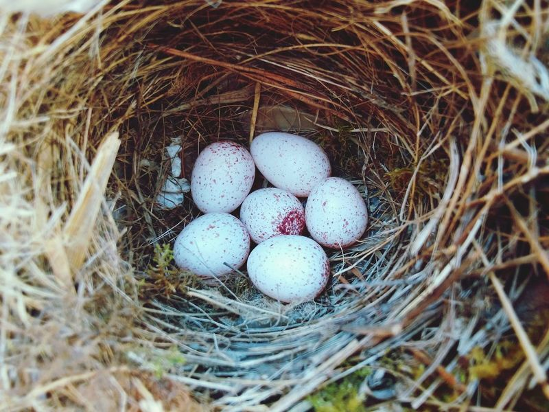 Showcase April Nest Bird Eggs Spots WhiteCollection Red