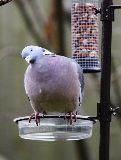 Hello curious friend. Wood Pigeon Animal Themes Animal Bird Animal Wildlife Animals In The Wild Vertebrate Perching One Animal No People Dove - Bird Metal Focus On Foreground Nature Day Close-up Outdoors Full Length