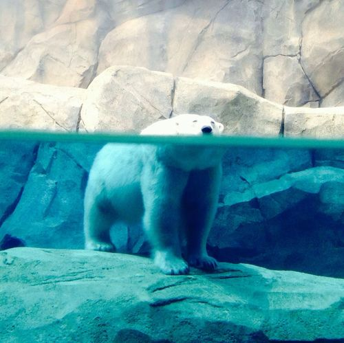 IPSCentral Polar Bear